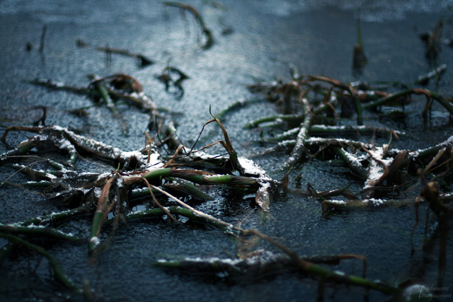 Eispflanze1_web
